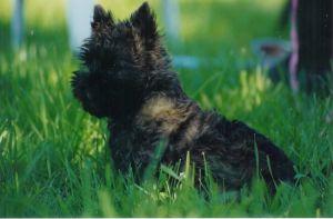 Chiot Cairn Terrier en vadrouille