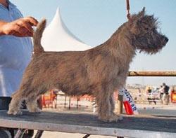 standard cairn terrier